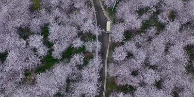 大地樂章|航拍貴州平壩萬畝櫻花落英如飄雪