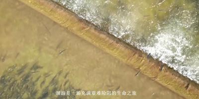 """航拍青海湖流域""""半河清水半河魚""""奇觀"""
