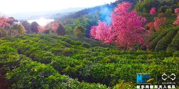 航拍普洱茶山櫻花盛開 品花香、茶香交織