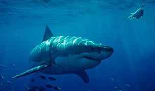 無人機追蹤鯊魚可有效預防鯊魚襲人