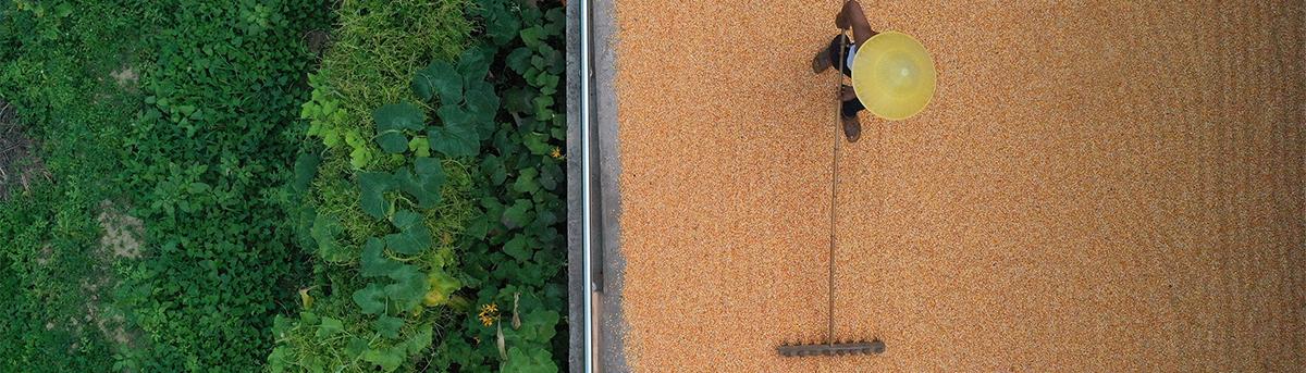 無人機視角下的豐收者 這低頭的樣子真美!