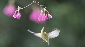 叉尾太陽鳥懸停採蜜