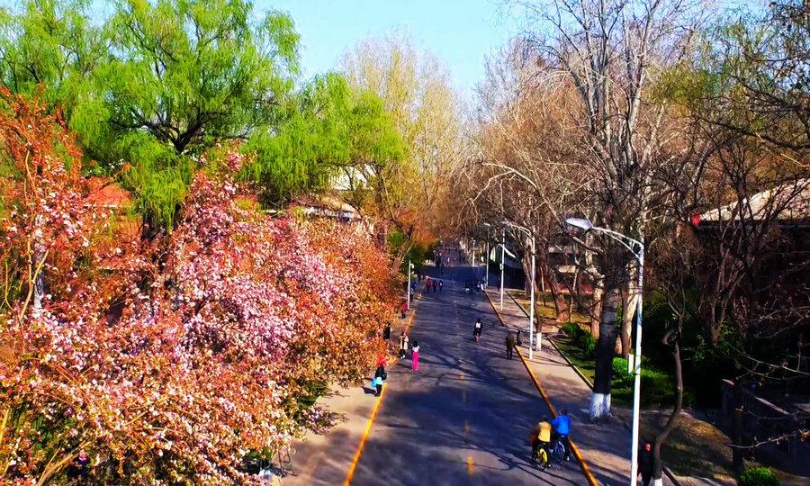 航拍天津大學海棠季 共赴一場花香之約