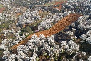 雲南建水:千畝梨花競相開放