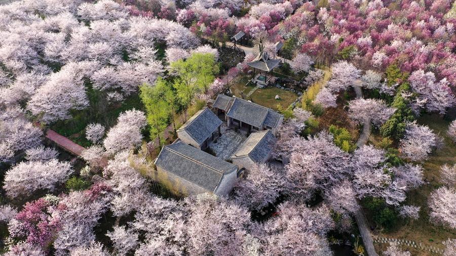 河南鄢陵:櫻花綻放 如雲似雪