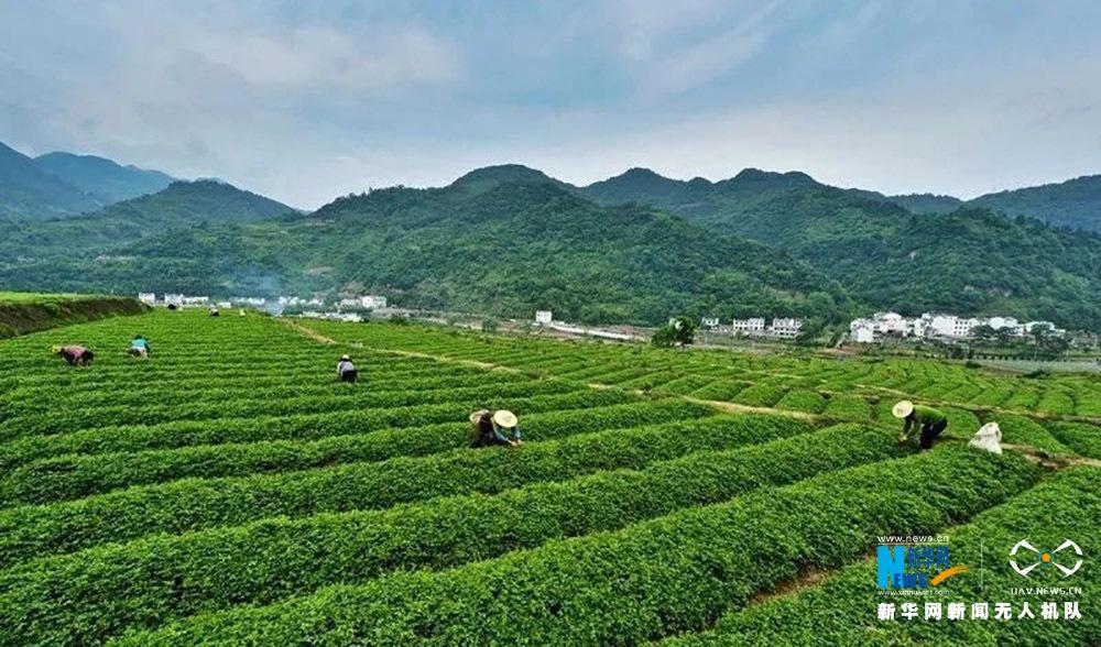 陜西紫陽:24萬畝茶園新茶飄香
