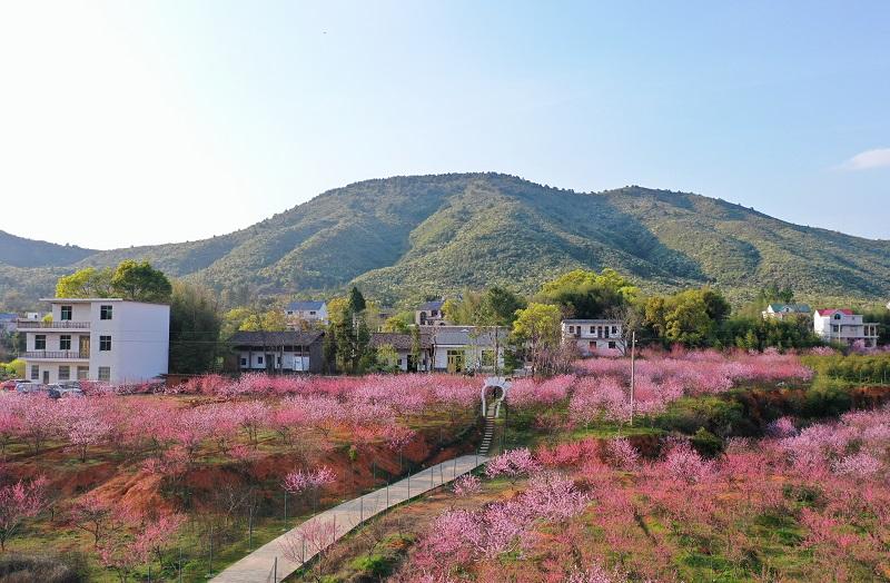 江西橫峰:燦若雲霞映鄉村 桃源盛景入畫來