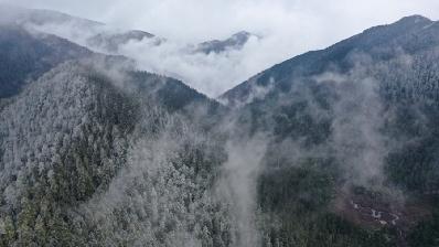 航拍麗江老君山奇景:白雪入山林 雲霧藏杜鵑