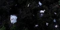 航拍:又見白鷺自在飛