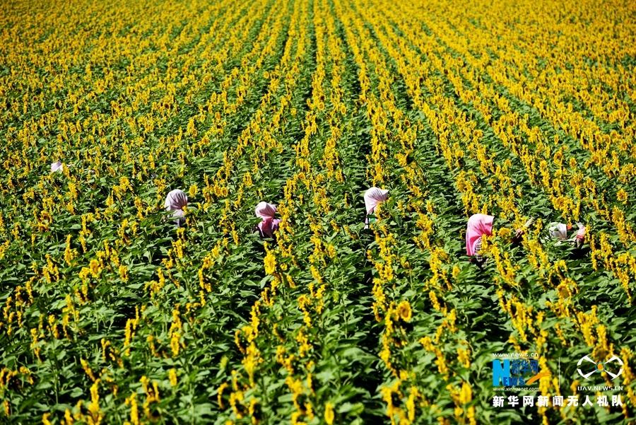 """【""""飛閱""""中國】河西走廊的金色田野:萬畝向日葵"""