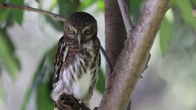 領略生物多樣性之美 近距離看貓頭鷹賣萌