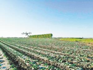 百畝露地菜 無人機防蟲害