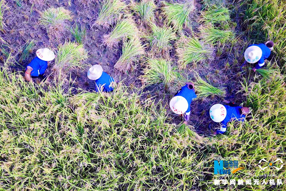 航拍廣西三江:侗族婦女比賽抓魚 收割稻谷
