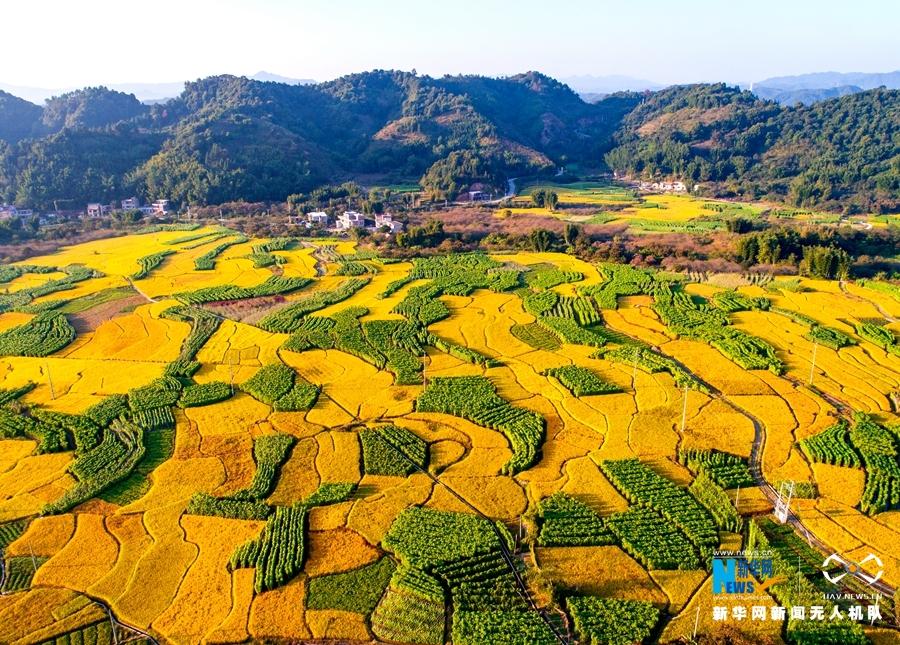 大地樂章|航拍廣州晚稻熟了