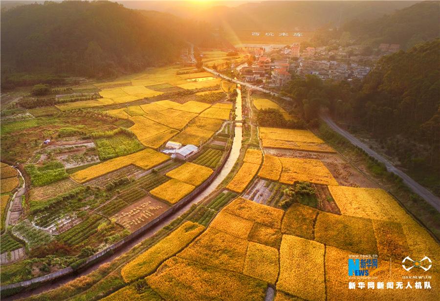 """稻子熟了!愛上廣東""""魚米之鄉""""的航拍在這兒"""