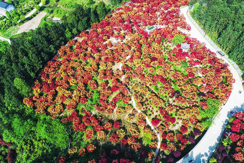 航拍重慶五洲園紅楓林 層林盡染如醉