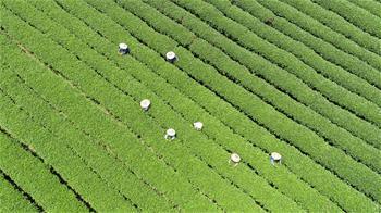 廣西茶鄉採秋茶